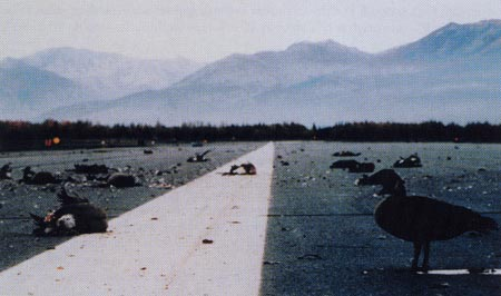 10. Plate 2. Canada Geese on the runway shortly after the September 22 AWACS crash. Twenty-four crew members died in the crash. Photo courtesy Transport Canada.
